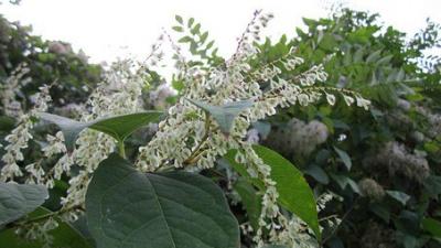 Invasiva främmande växterarter