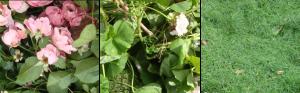 Rosa rosor, löv och gräs.