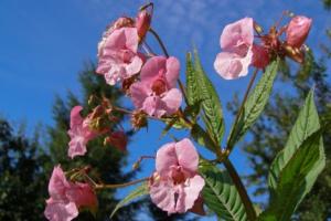 Bild på rosa blommor.